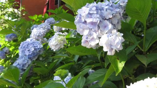 ubiquitous blue hydrangea