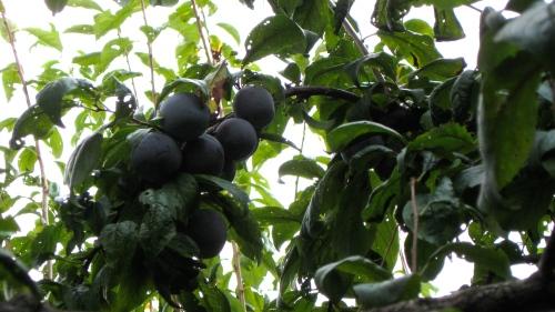 plum cluster